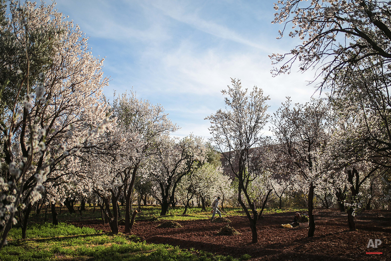 """In this Tuesday, Feb. 2, 2016 photo, Amazigh villager Mohammed Tamejout, 26, works in his farm between almond blossoms, in the town of Kasbah Ellouze, near Kalaat M'Gouna, Morocco. Indomitable and proud, they call themselves the Amazigh, which is believed to mean """"free people"""" or """"noble men,"""" and trace their origins as an indigenous people in western North Africa to at least 10,000 B.C. (AP Photo/Mosa'ab Elshamy)"""