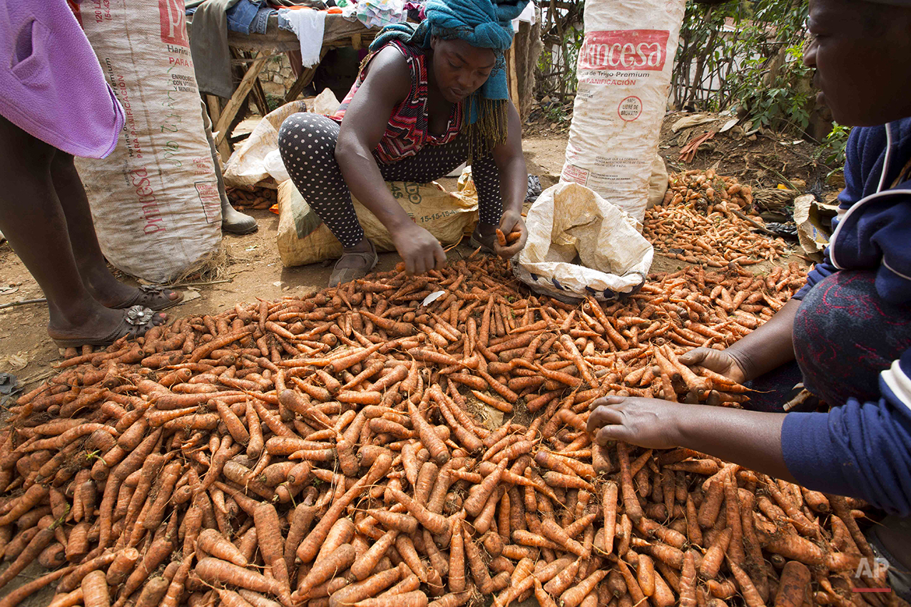 In this Feb. 15, 2016 photo, vendors cull through bunches of carrots, to sell at a local street market in Oriani, Haiti. A drought worsened by the El Nino weather phenomenon has driven Haitians who were already barely getting by on marginal farmland deeper into misery. (AP Photo/Dieu Nalio Chery)