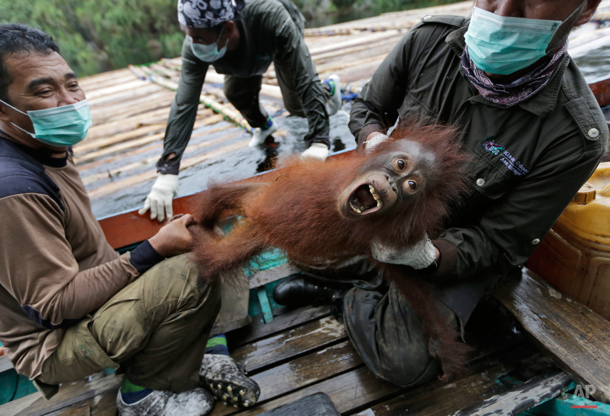 APTOPIX Indonesia Orangutan Rescue Photo Gallery
