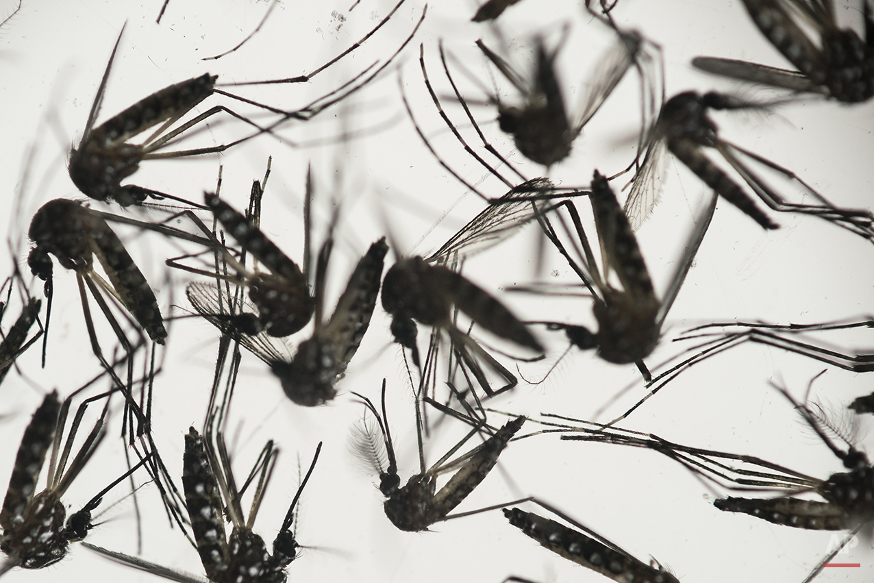 Aedes aegypti mosquitoes sit in a petri dish at the Fiocruz institute in Recife, Pernambuco state, Brazil, Wednesday, Jan. 27, 2016. (AP Photo/Felipe Dana)