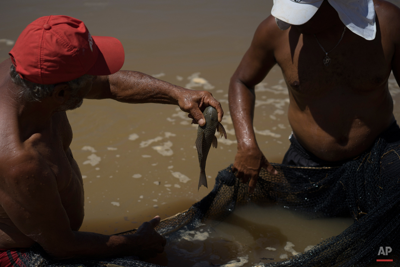 In this Nov. 21, 2015 photo, a fisherman holds a fish over a net in a temporary pool built to protect some of the creatures that inhabit the Doce River from polluted waters, in Colatina, Brazil. Even though the fishermen claim to have rescued at least 110 species from the polluted waters, nearly a month after the dam burst, the effects of the disaster at the Samarco iron ore mine continue to affect wildlife. (AP Photo/Leo Correa)