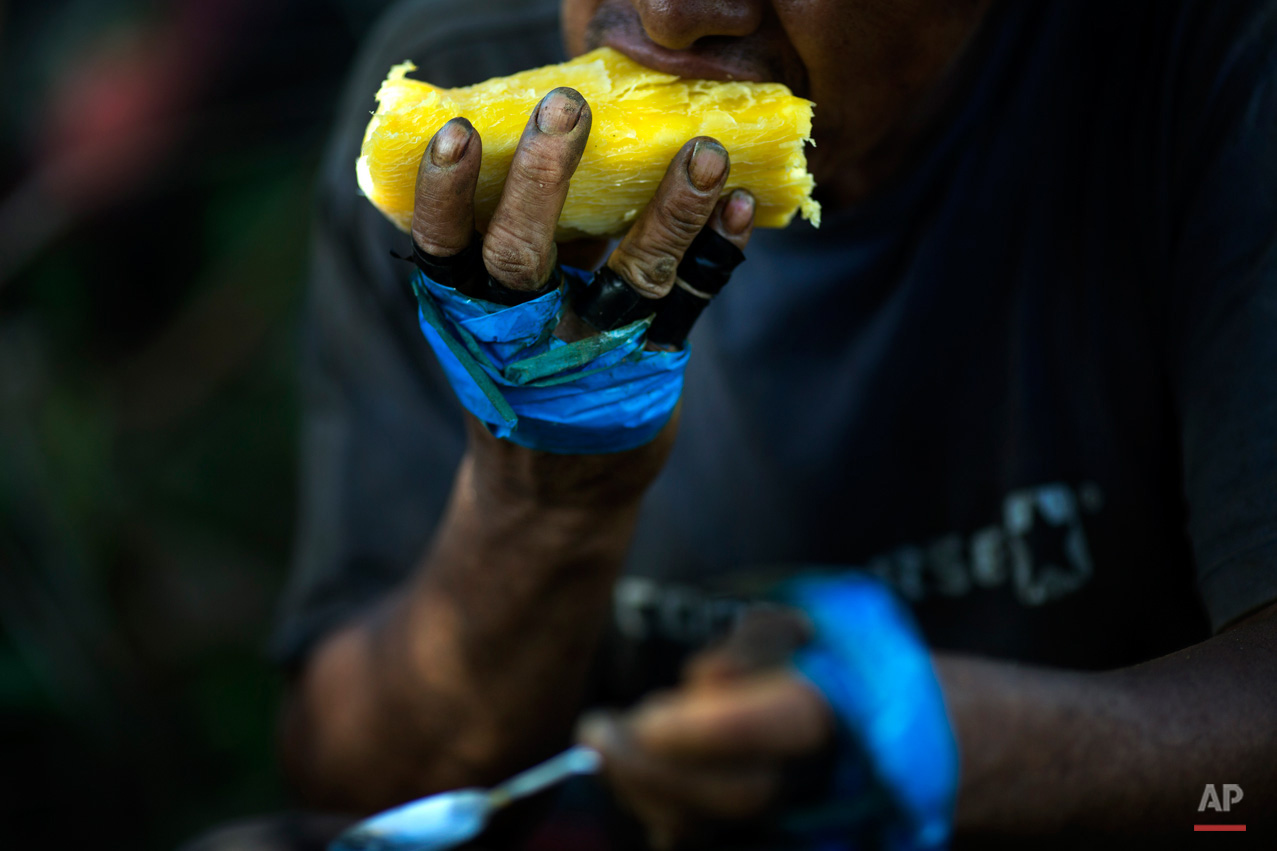 In this June 20, 2015, photo, Roberto Viga, 50, takes a bite from a chunk of cooked yucca, during his break from harvesting coca leaves in Samugari, Peru. Nearly all the coca picked ends up being processed into cocaine, and many worry that the government will finally begin destroying the crop, as it has elsewhere. (AP Photo/Rodrigo Abd)