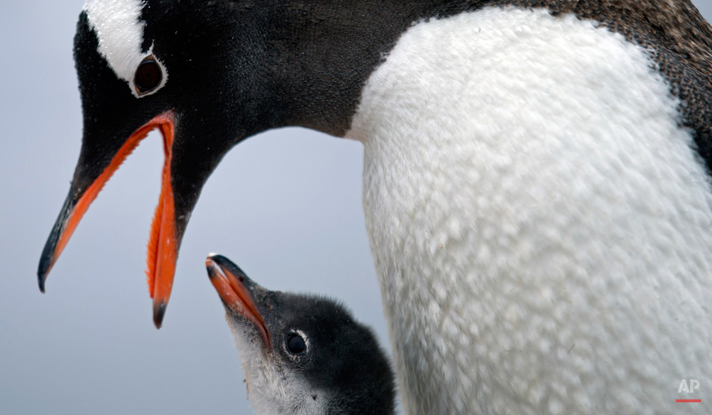 "In this Jan. 22, 2015, photo, a Gentoo penguin feeds its baby at Station Bernardo O'Higgins in Antarctica. ""To understand many aspects in the diversity of animals and plants it's important to understand when continents disassembled,î said Richard Spikings, a research geologist at the University of Geneva. (AP Photo/Natacha Pisarenko)"
