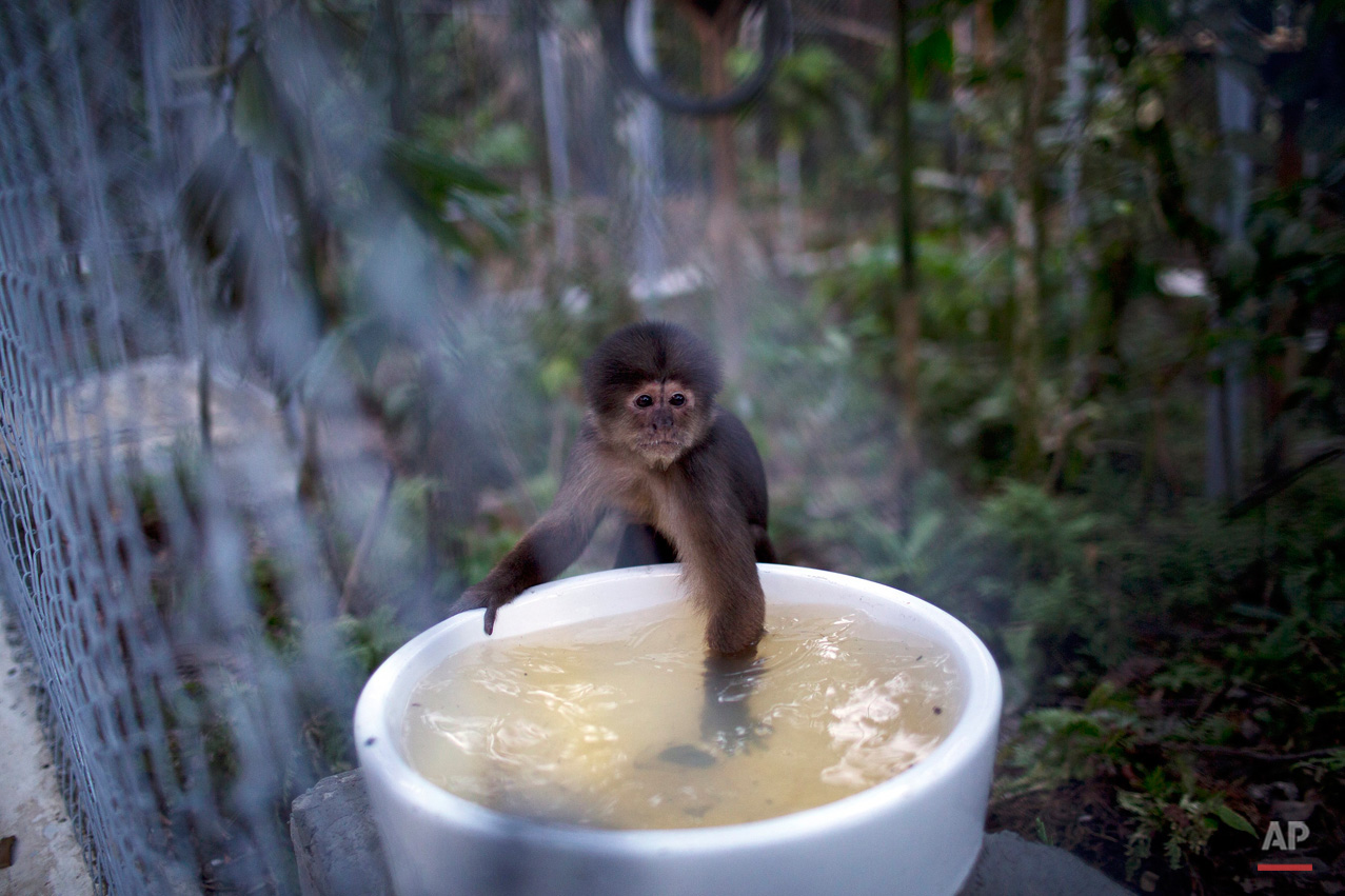 In this April 18, 2015, photo, a monkey dips its hand into a water receptacle at the Amazon Animal Orphanage in the Pilpintuwasi rainforest, near Iquitos, Peru. The monkey was among dozens of animals that Animal Defenders International, with the assistance of the Peru's air force and navy, airlifted Saturday to the animal refuge in Peru's amazon rainforest from Lima, where they were held after being rescued from animal traffickers and circus programs. (AP Photo/Rodrigo Abd)