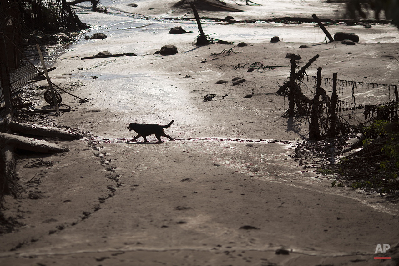 A dog walks in the mud at the small town of Bento Rodrigues on Friday, Nov. 6, 2015, after a dam burst on Thursday in Minas Gerais state, Brazil.(AP Photo/Felipe Dana)