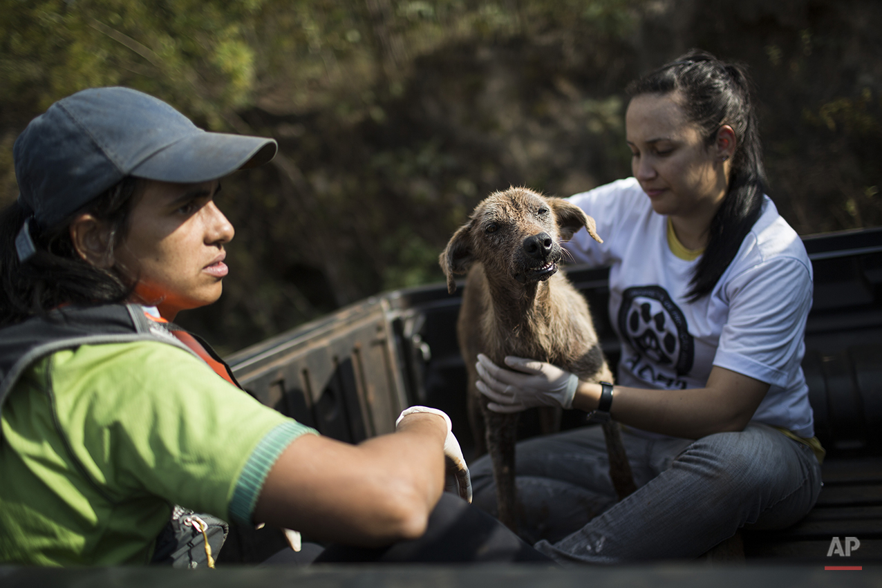An injured dog is rescued after a dam burst at the small town of Bento Rodrigues in Minas Gerais state, Brazil, Friday, Nov. 6, 2015. (AP Photo/Felipe Dana)