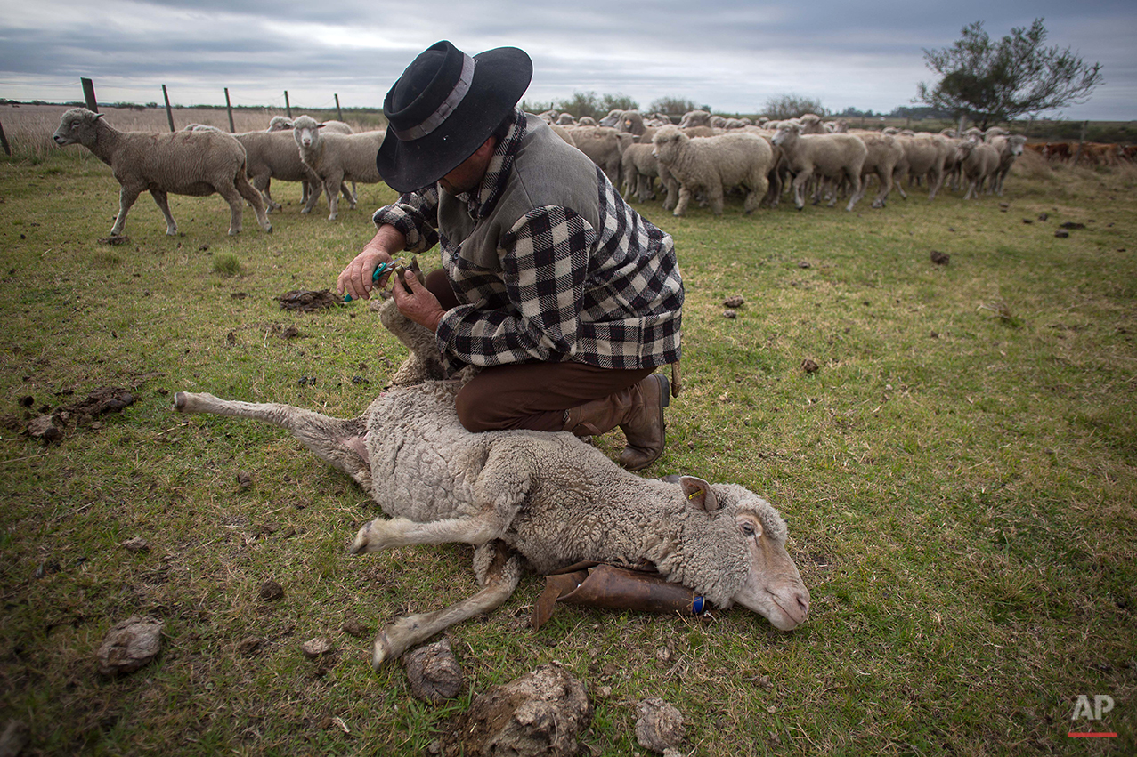 In this Sept. 17, 2015, Alcino Rodrigues de Campos, 36, herd sheeps at the Cabanha Escondida ranch, Alegrete municipality, Rio Grande do Sul state, Brazil. Revolution is no longer on the table _ instead it's the endless rows of barbecued beef. The region is known for having Brazil's best mouthwatering steaks, ribs, sausages and other carnivorous delights, all slow roasted over massive pit flames. (AP Photo/Eraldo Peres)