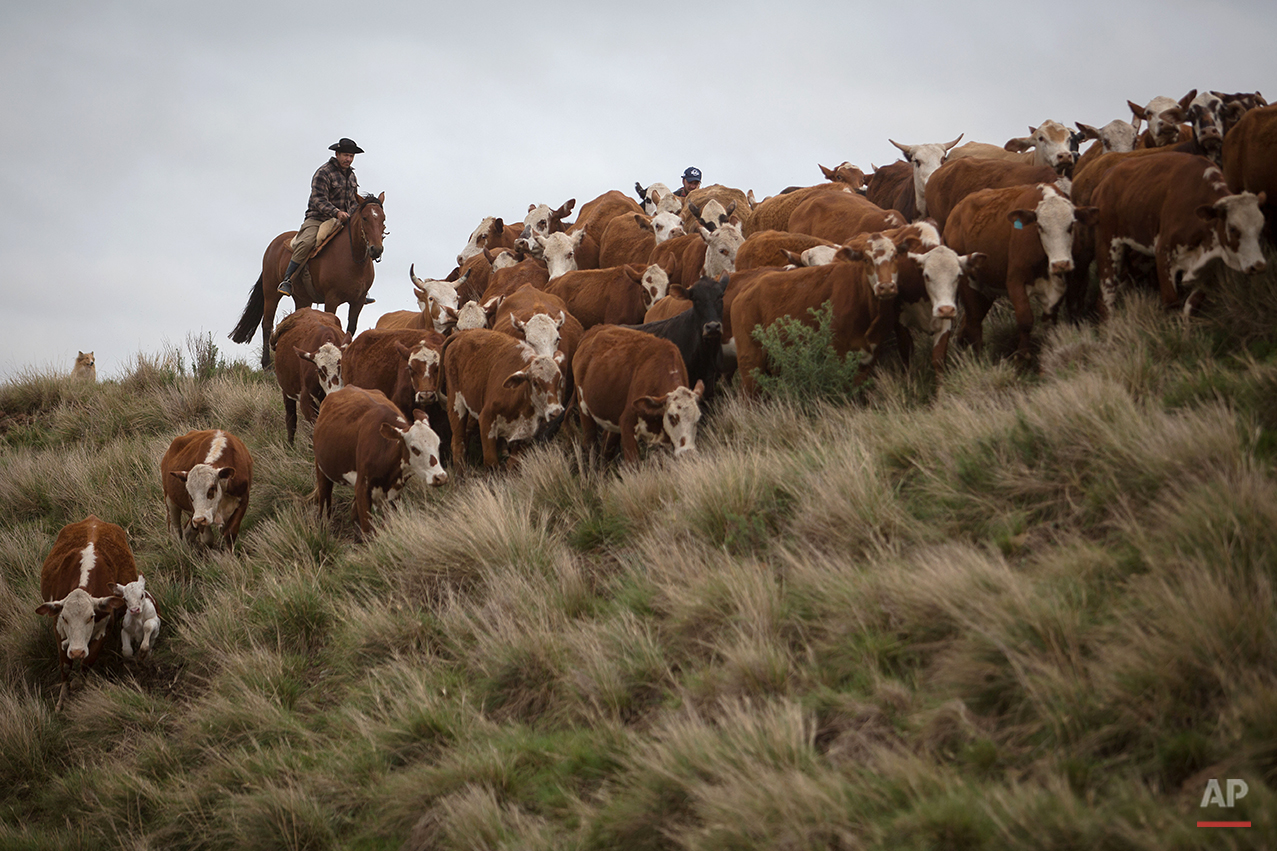 In this Sept. 17, 2015, Antonio Carlos Vieira, 45, herd cattle at the Santa Izabel ranch, Alegrete municipality, Rio Grande do Sul state, Brazil. The region is known for having Brazil's best mouthwatering steaks, ribs, sausages and other carnivorous delights, all slow roasted over massive pit flames. (AP Photo/Eraldo Peres)