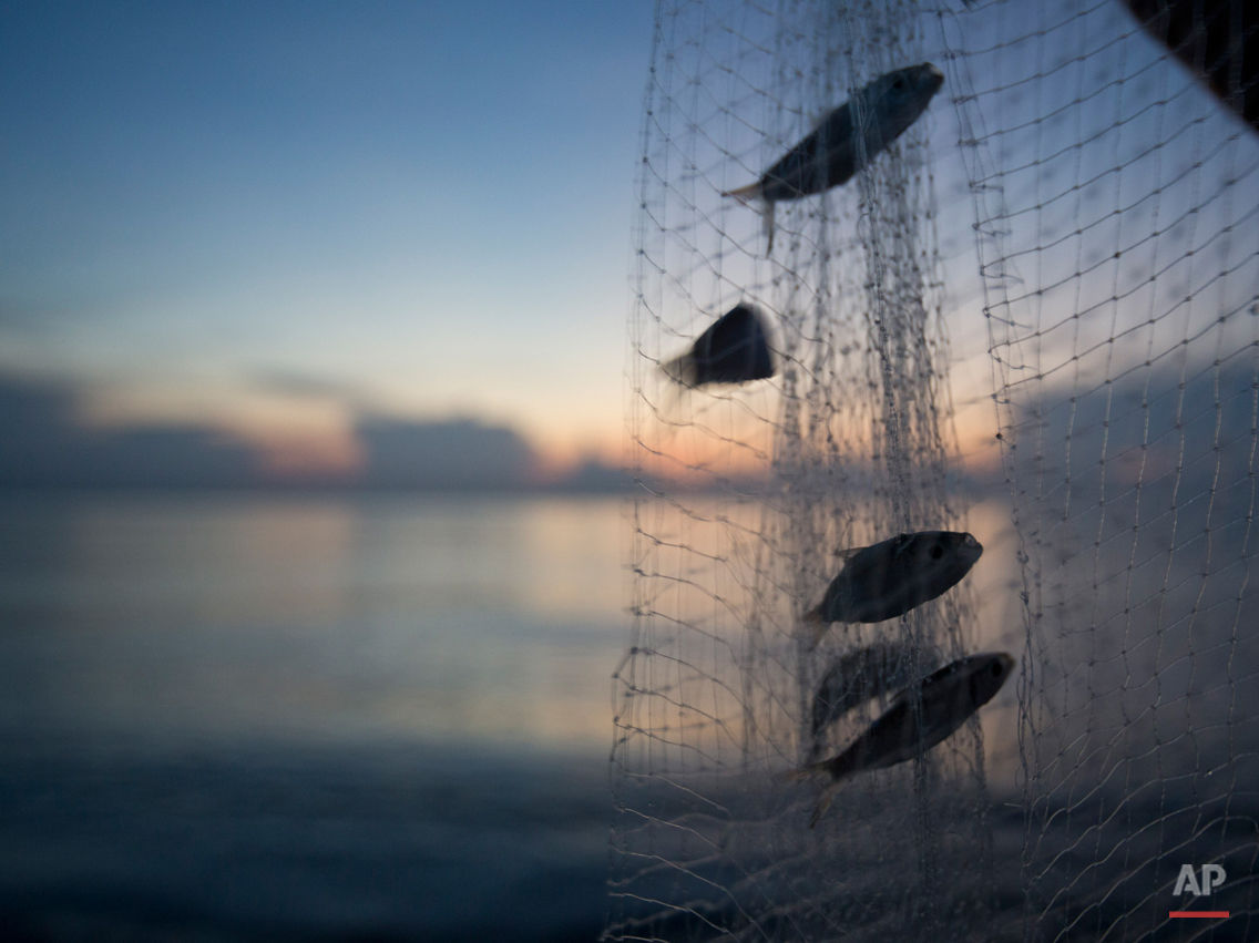 Jose Perez, of Miami, shakes his net on shore to release his catch of small bait fish in the predawn hours, Thursday, Aug. 13, 2015, in Bal Harbour, Fla. (AP Photo/Wilfredo Lee)
