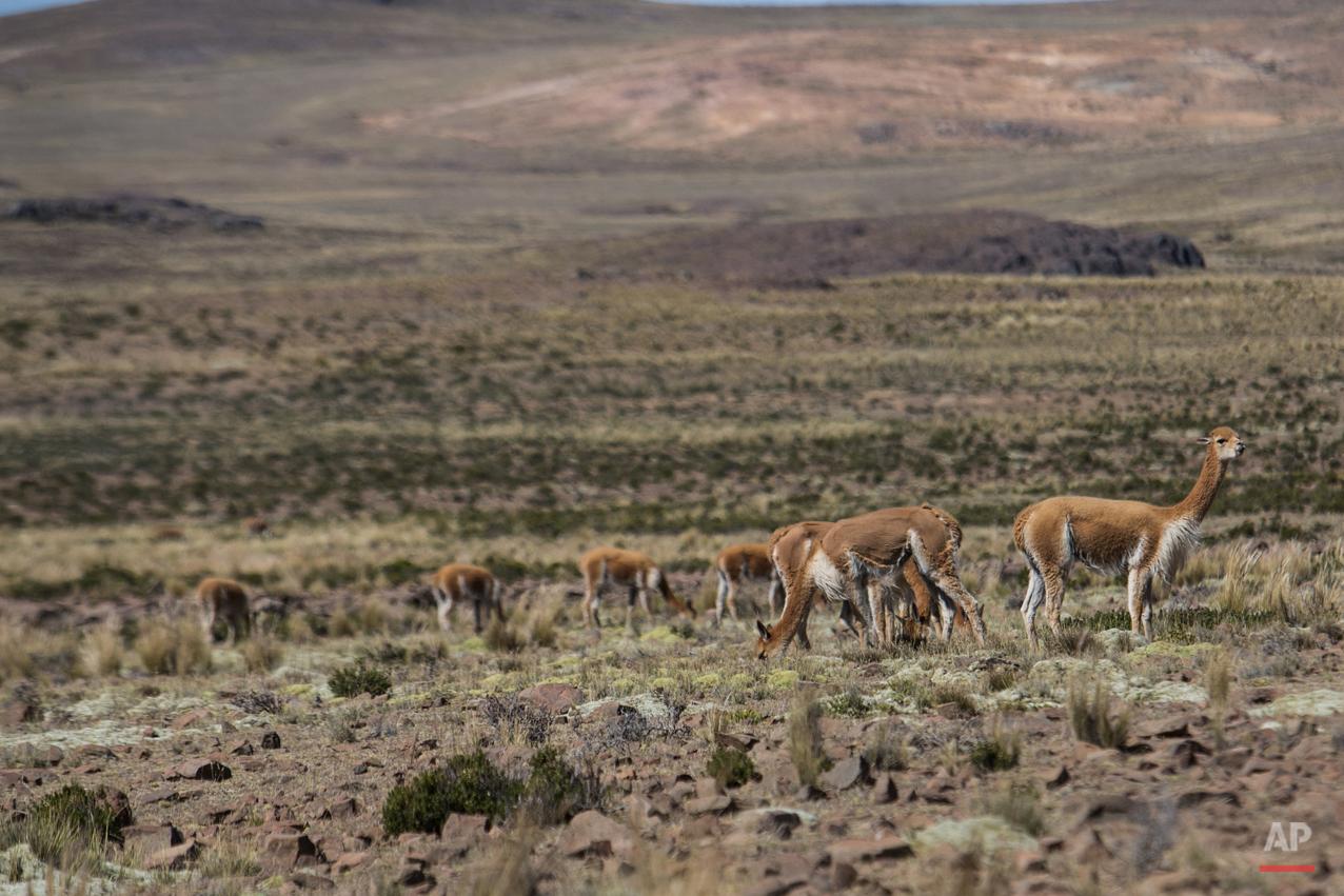 Peru Vicuna Shearing Festival Photo Gallery