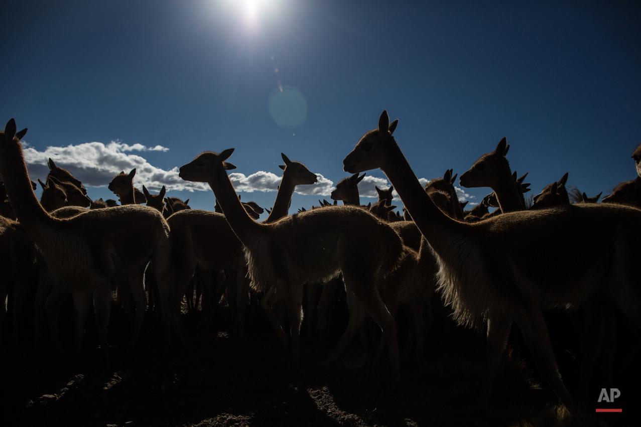 APTOPIX Peru Vicuna Shearing Festival Photo Gallery