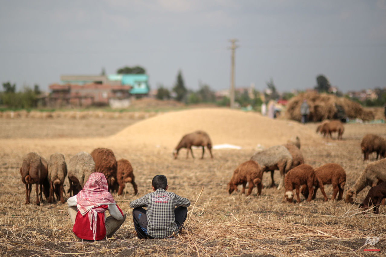 In this Thursday, May 14, 2015 photo, young shepherds look after their sheep as they graze in a wheat farm, in a village in the Nile Delta town of Behira, 300 kilometers (186 miles) north of Cairo, Egypt. n the absence of government subsidies and modern machinery, impoverished famers struggle to make ends meet and feel they have no choice but to build on their own land or sell it off, bit by bit. (AP Photo/Mosa'ab Elshamy)