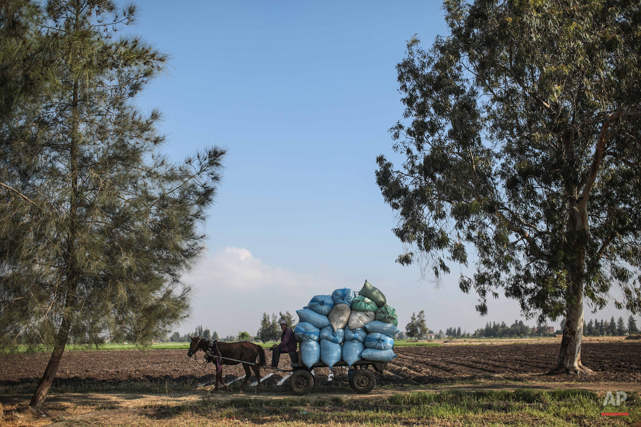 In this Thursday, May 14, 2015 photo, a farmer transports harvested wheat seeds on a horse cart, in a village in the Nile Delta town of Behira, 300 kilometers (186 miles) north of Cairo, Egypt. Lush green farms once stretched all around the Nile River, the fertile dark soil a vital source of life since the Pharaonic times, when ancient Egyptians developed some of the first sophisticated farming methods in the region. (AP Photo/Mosa'ab Elshamy)