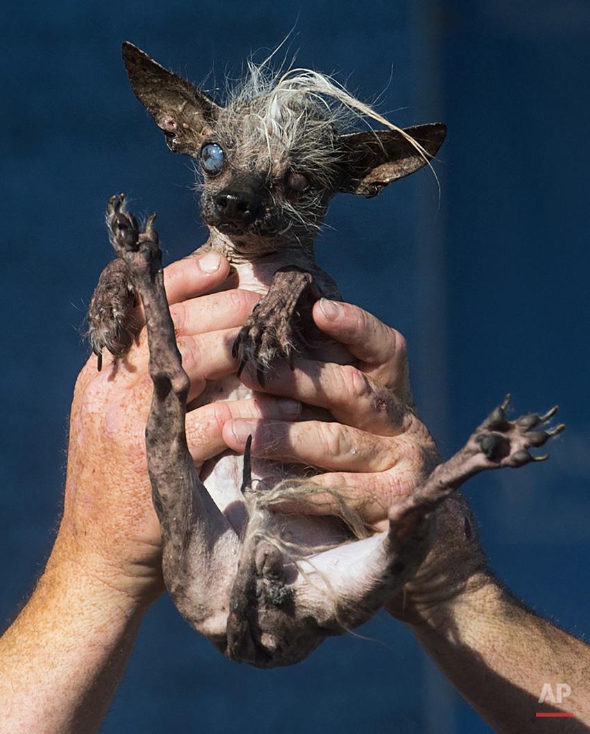 APTOPIX Ugly Dog Contest