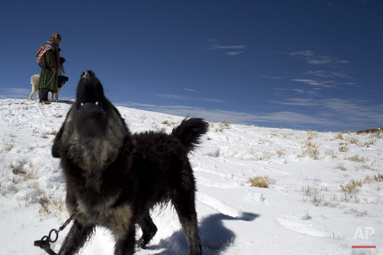In this July 8, 2016 photo, Maria Quispe holds her dog named Colmillo Blanco while shepherding her alpacas and sheep in her snow covered fields in San Antonio de Putina in the Puno region of Peru. At almost 16,400 feet (5,000 meters), and after three days of heavy snowfall that blanketed the rugged Andes, alpaca breeders are watching their alpacas die due to sub-freezing temperatures. (AP Photo/Rodrigo Abd)