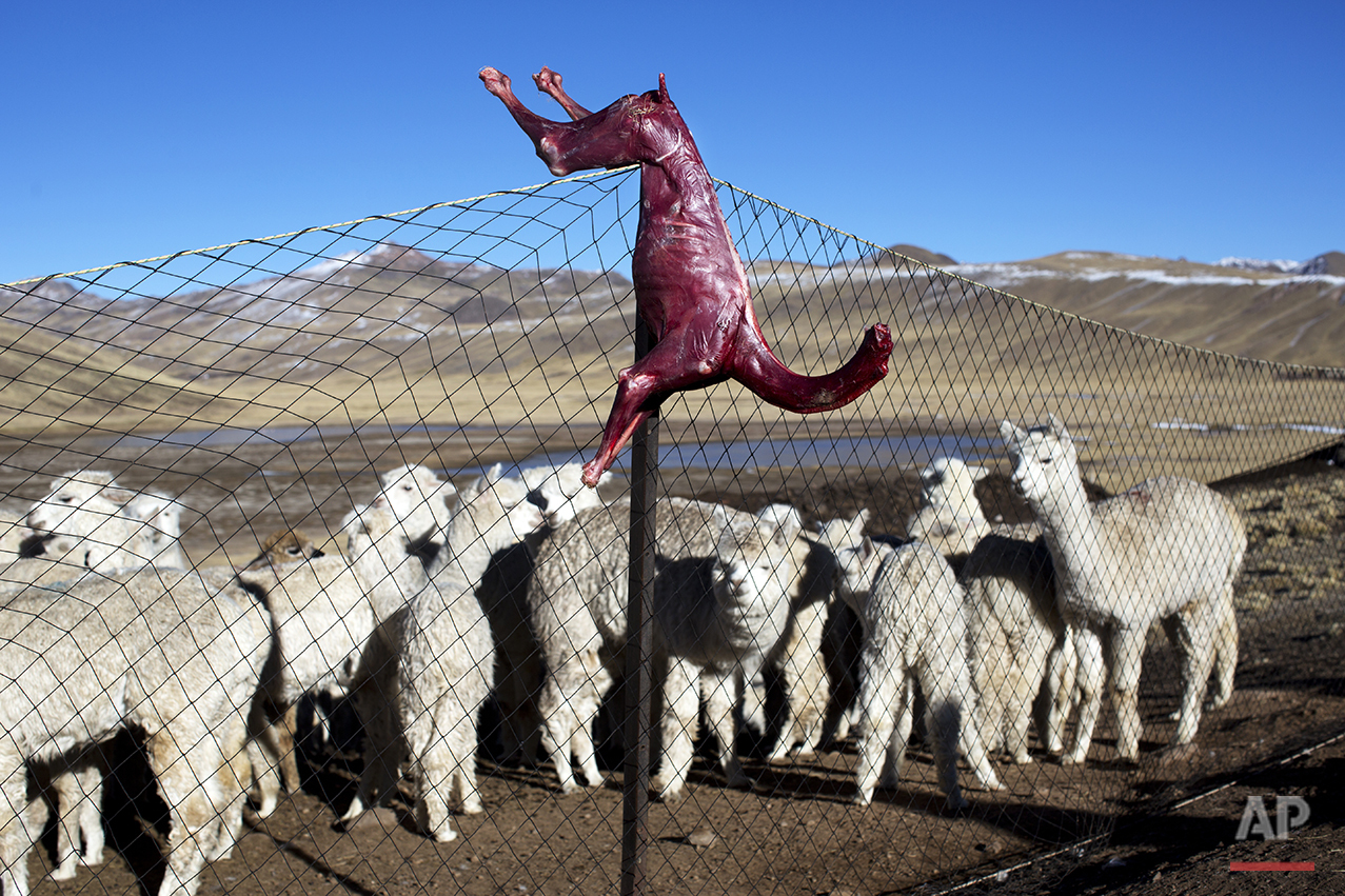 In this July 11, 2016 photo, a skinned alpaca, which died due to sub-freezing temperatures, hangs on a fence above live alpacas in San Antonio de Putina in the Puno region of Peru. Alpaca owners are butchering their dead animals to cook for their families and feed to their dogs which scare off foxes that prey on baby alpacas. (AP Photo/Rodrigo Abd)