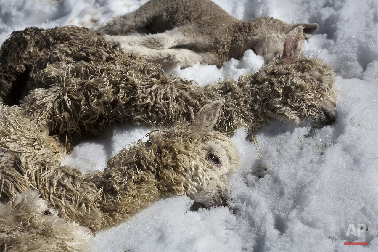 In this July 9, 2016 photo, newborn alpacas that died due to sub-freezing temperatures lay on the ground after being placed there by a villager in San Antonio de Putina in the Puno region of Peru. Peru's government has declared a state of emergency in the southern Andes and promised $3 million in relief. (AP Photo/Rodrigo Abd)