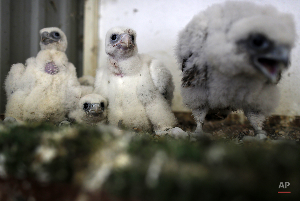 Serbia Breeding Falcons Photo Gallery
