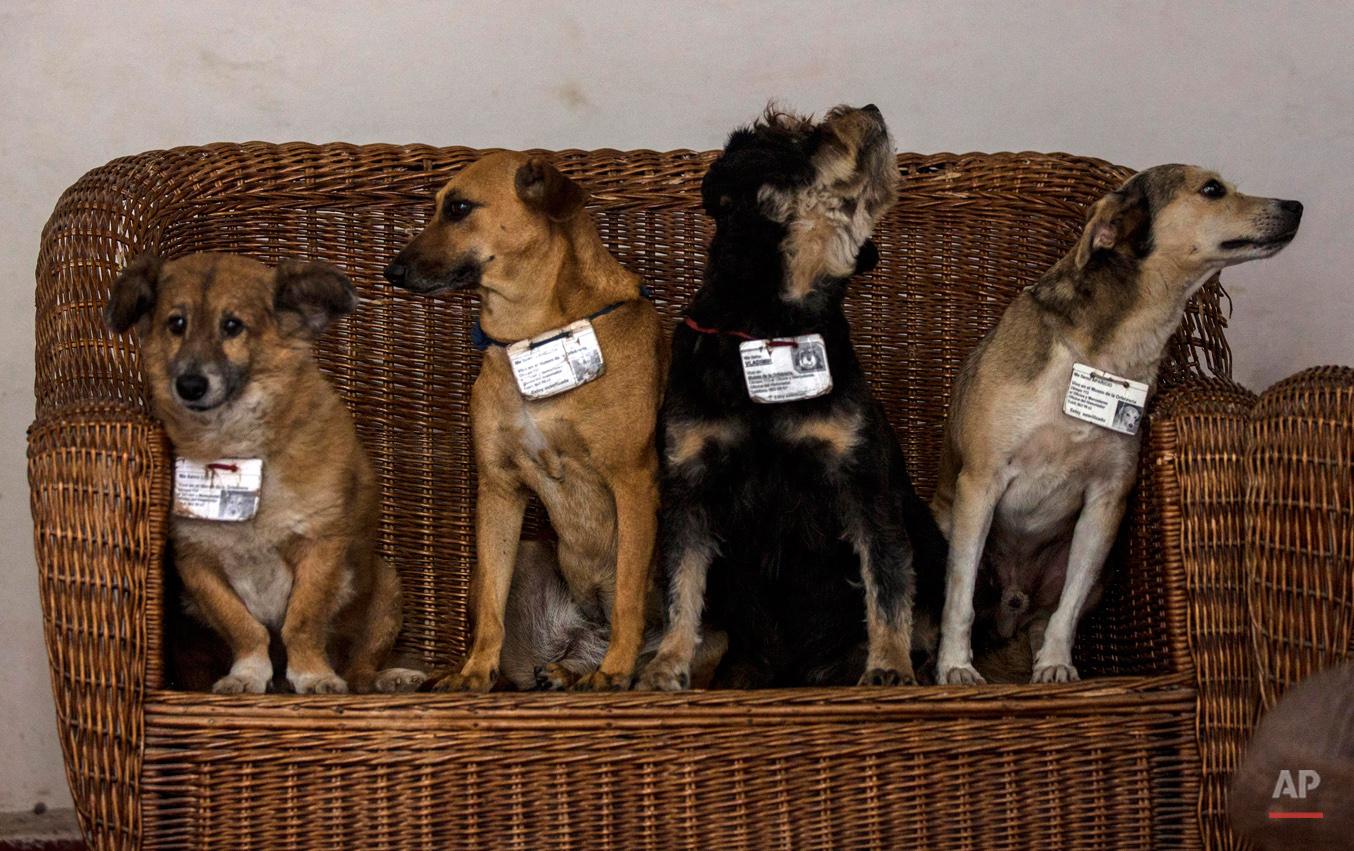 APTOPIX Cuba Official Street Dogs