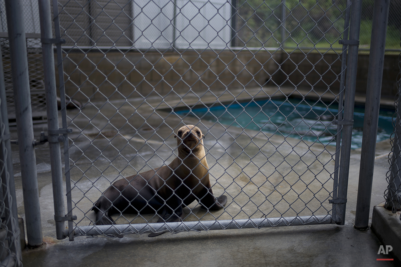 Starving Sea Lions