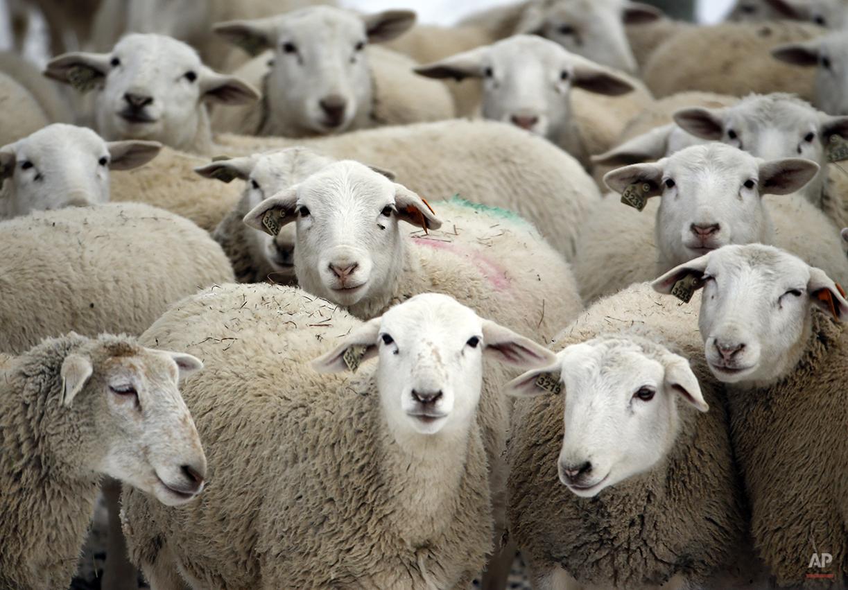 Dorper sheep huddle on a frigid winter day at Kinderhook Farm on Friday, Feb. 6, 2015, in Ghent, N.Y. (AP Photo/Mike Groll)