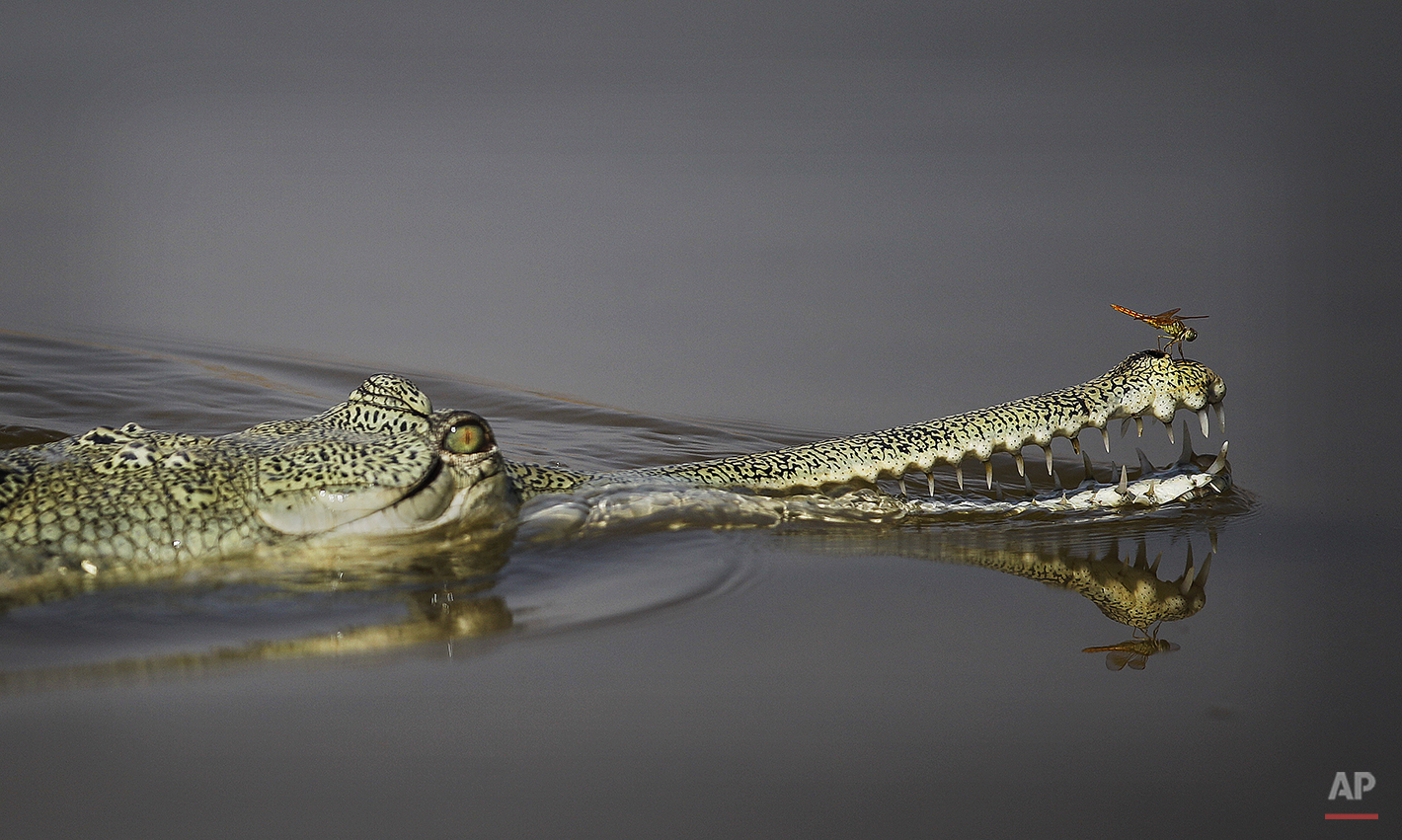 In this photo taken Wednesday, April 30, 2014, a dragonfly sits on the nose of a Gharial, rare crocodile-like creatures, in the River Chambal near Bhopepura village in the northern Indian state of Uttar Pradesh. The narrow 250-mile stretch of the Chambal is a place of crocodiles and jackals, of river dolphins and the occasional wolf. Hundreds of species of birds, storks, geese, babblers, larks, falcons and so many more, nest along the river. Endangered birds lay small speckled eggs in tiny pits they dig in the sandbars. Gharials, rare crocodile-like creatures that look like they swaggered out of the Mesozoic Era, are commonplace here and nowhere else. (AP Photo/Altaf Qadri)