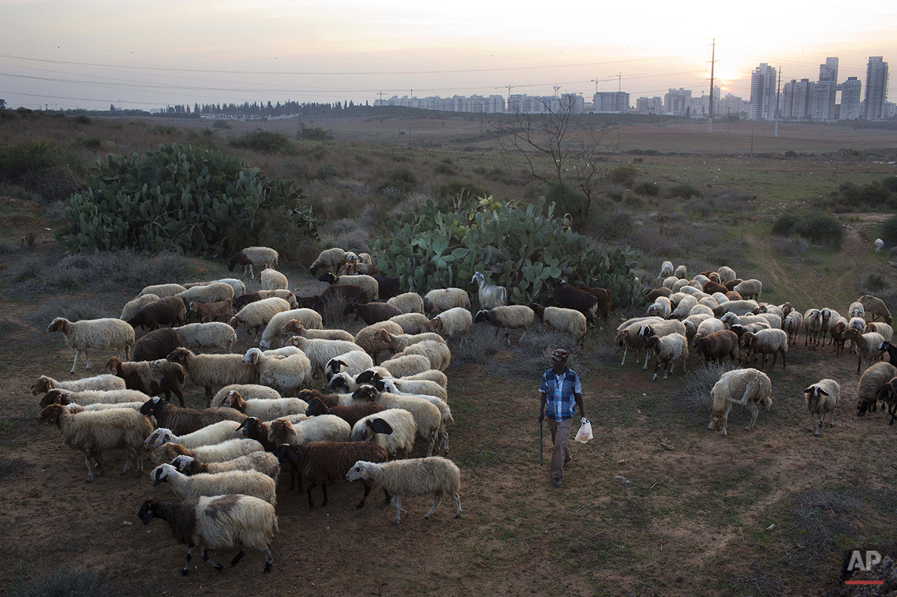 A shepherd herds his flock in an open field near the central Israeli town of Rehovot, Thursday, Nov. 13, 2014. (AP Photo/Oded Balilty)