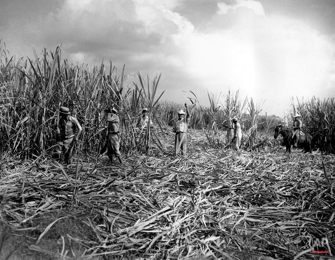 CUBA HAVANA SUGAR CANE FIELD