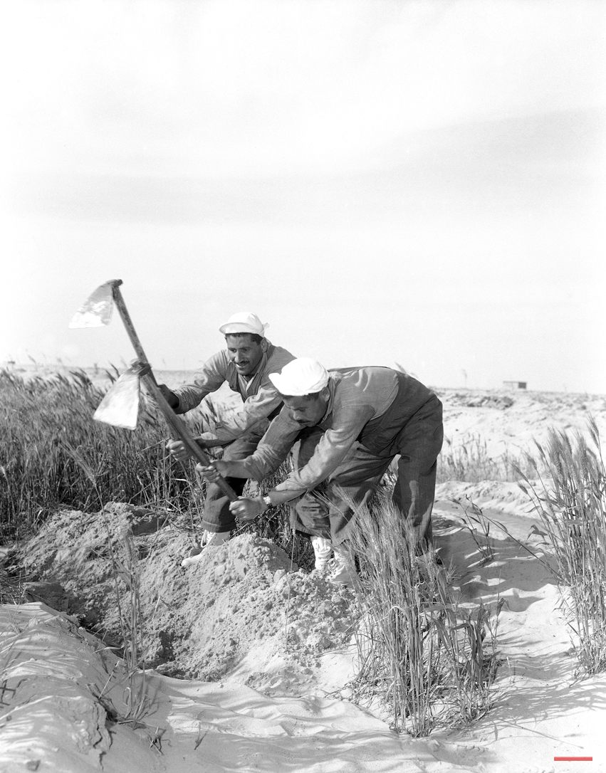 Two peasants who have been under the new training system, attending to wheat growing in the former Western Desert in Cairo, Egypt on March 26, 1956. They are wearing modern farm clothes instead of the old fashioned Arab clothes they wore before. (AP Photo/Jim Pringle)