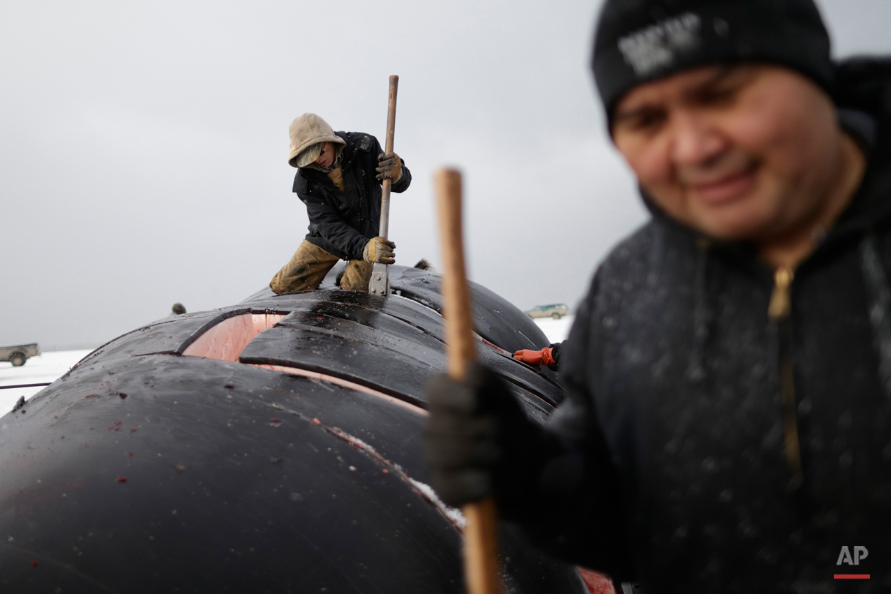 In this Oct. 7, 2014, photo, cutters divide sections of skin and blubber while butchering a bowhead whale in a field near Barrow, Alaska. Young whalers often learn to help in butchering by learning to use the hook to pull off the giant slabs of skin and blubber. Later, they may move to the more skilled task of cutter.  (AP Photo/Gregory Bull)