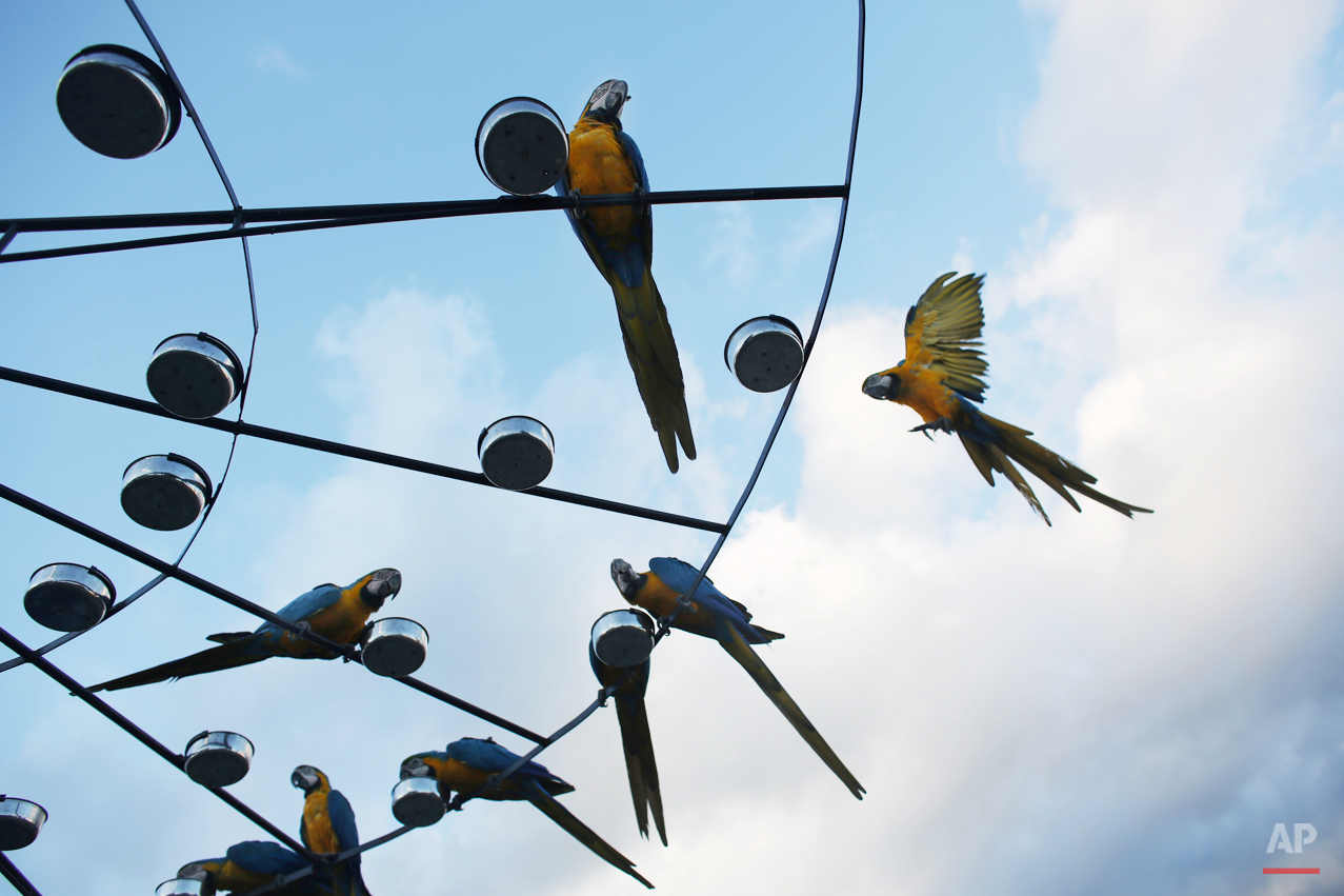 APTOPIX Venezuela's Beloved Macaws Photo Gallery
