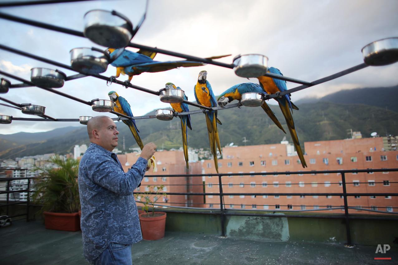 Venezuela's Beloved Macaws Photo Gallery