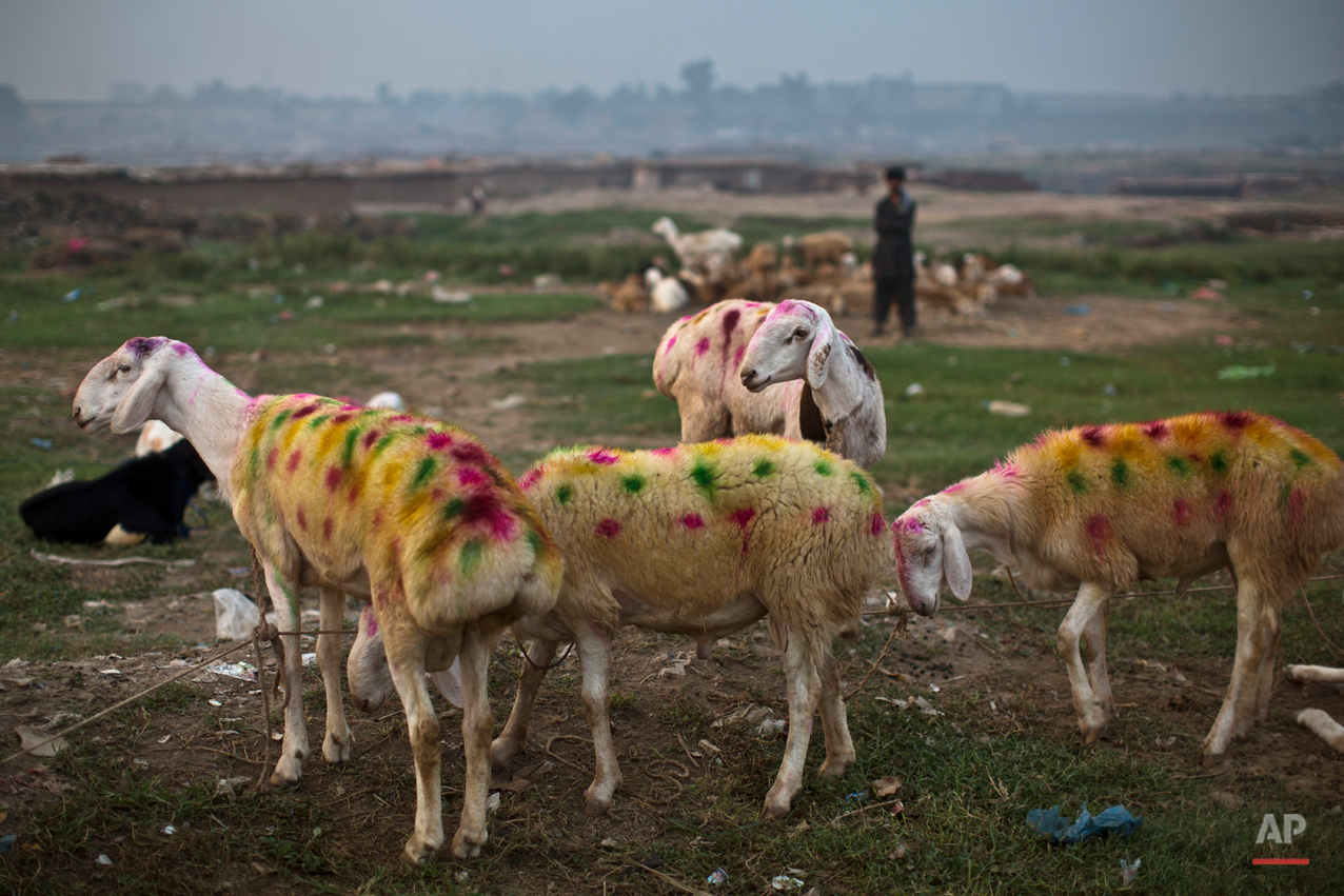 "Painted sheep are displayed for sale by a Pakistani vendor, in preparation for the upcoming Muslim holiday of Eid al-Adha, or ""Feast of Sacrifice,"" on the outskirts of Islamabad, Pakistan, early Friday, Oct. 3, 2014. Muslims around the world will mark Eid al-Adha, as the biggest holiday of the Islamic calendar. It commemorates the willingness of the prophet Ibrahim _ or Abraham, as he is known in the Bible _ to sacrifice his son in accordance with God's will, though in the end God provides him a sheep to sacrifice instead. (AP Photo/Muhammed Muheisen)"