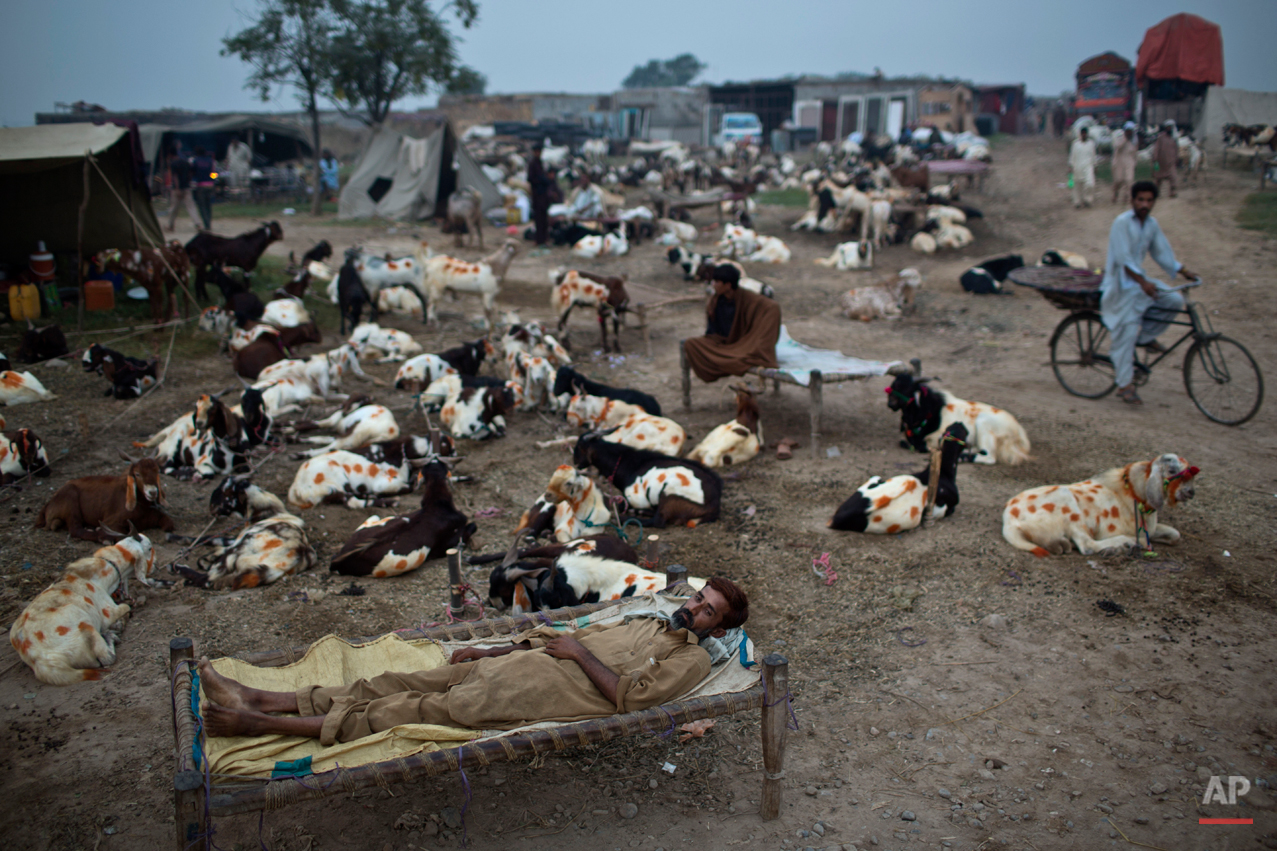 "Pakistani livestock merchants rest between their animals displayed for sale in preparation for the upcoming Muslim holiday of Eid al-Adha, or ""Feast of Sacrifice,"" on the outskirts of Islamabad, Pakistan, early Friday, Oct. 3, 2014. Muslims around the world will mark Eid al-Adha, as the biggest holiday of the Islamic calendar. It commemorates the willingness of the prophet Ibrahim _ or Abraham, as he is known in the Bible _ to sacrifice his son in accordance with God's will, though in the end God provides him a sheep to sacrifice instead. (AP Photo/Muhammed Muheisen)"