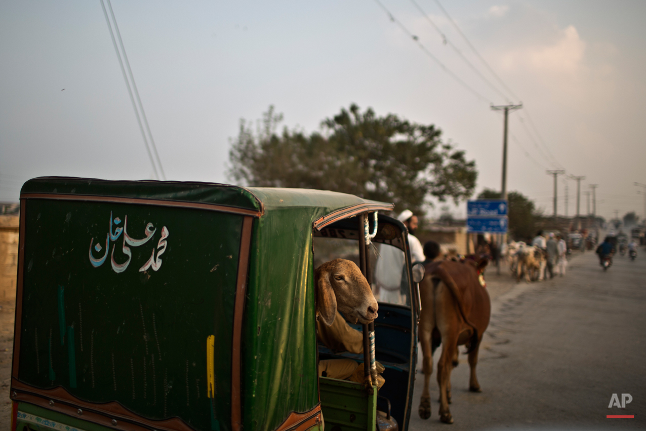"A sheep looks out of a rickshaw after it was bought by a Pakistani man for the Muslim holiday of Eid al-Adha, or ""Feast of Sacrifice"" in Pakistan, near  Islamabad, Saturday, Oct. 4, 2014. Muslims around the world celebrated Saturday to commemorate the willingness of the prophet Ibrahim - or Abraham as he is known in the Bible - to sacrifice his son in accordance with God's will, though in the end God provides him a sheep to sacrifice instead. Muslims slaughter sheep, cattle, and other livestock, and give part of the meat to the poor.(AP Photo/Muhammed Muheisen)"