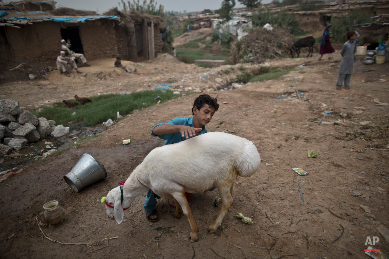 "An Afghan refugee washes his sheep before displaying it for sale in preparation for the upcoming Muslim holiday of Eid al-Adha, or ""Feast of Sacrifice"", on the outskirts of Islamabad, Pakistan, Tuesday, Sept. 30, 2014. (AP Photo/Muhammed Muheisen)"