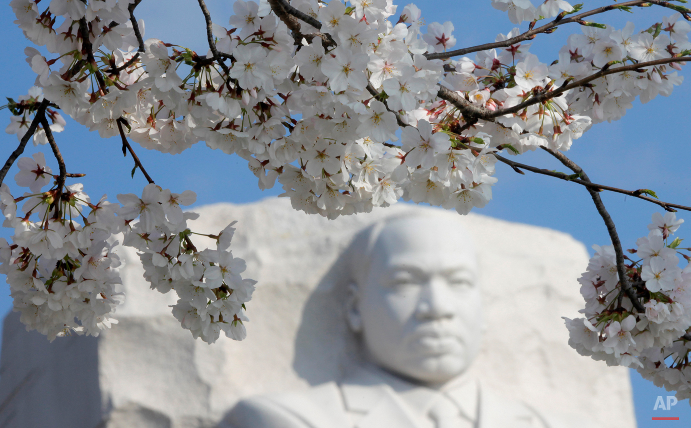 Cherry blossoms begin to bloom at the Martin Luther King Jr. National Memorial on the Tidal Basin in Washington, Monday, March 19, 2012. (AP Photo/Charles Dharapak)