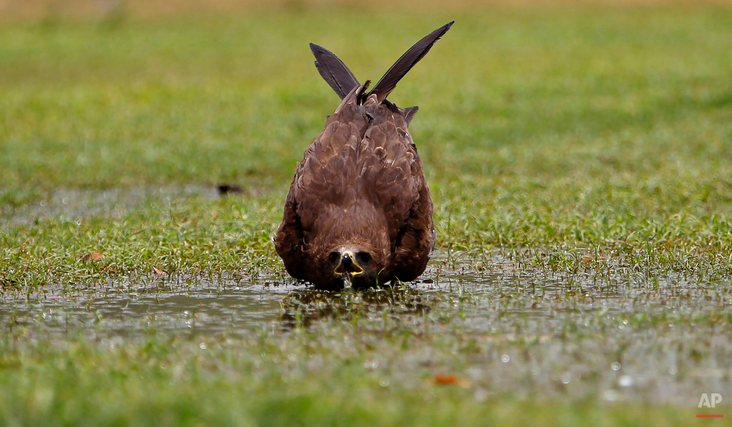 A kite bird drinks water from a puddle in a public lawn in New Delhi, India, Friday, June 1, 2012. The weather in northern India has been extremely hot in recent days with temperatures reaching as high as 45 degrees Celsius, or 113 degrees Fahrenheit. (AP Photo/Saurabh Das)