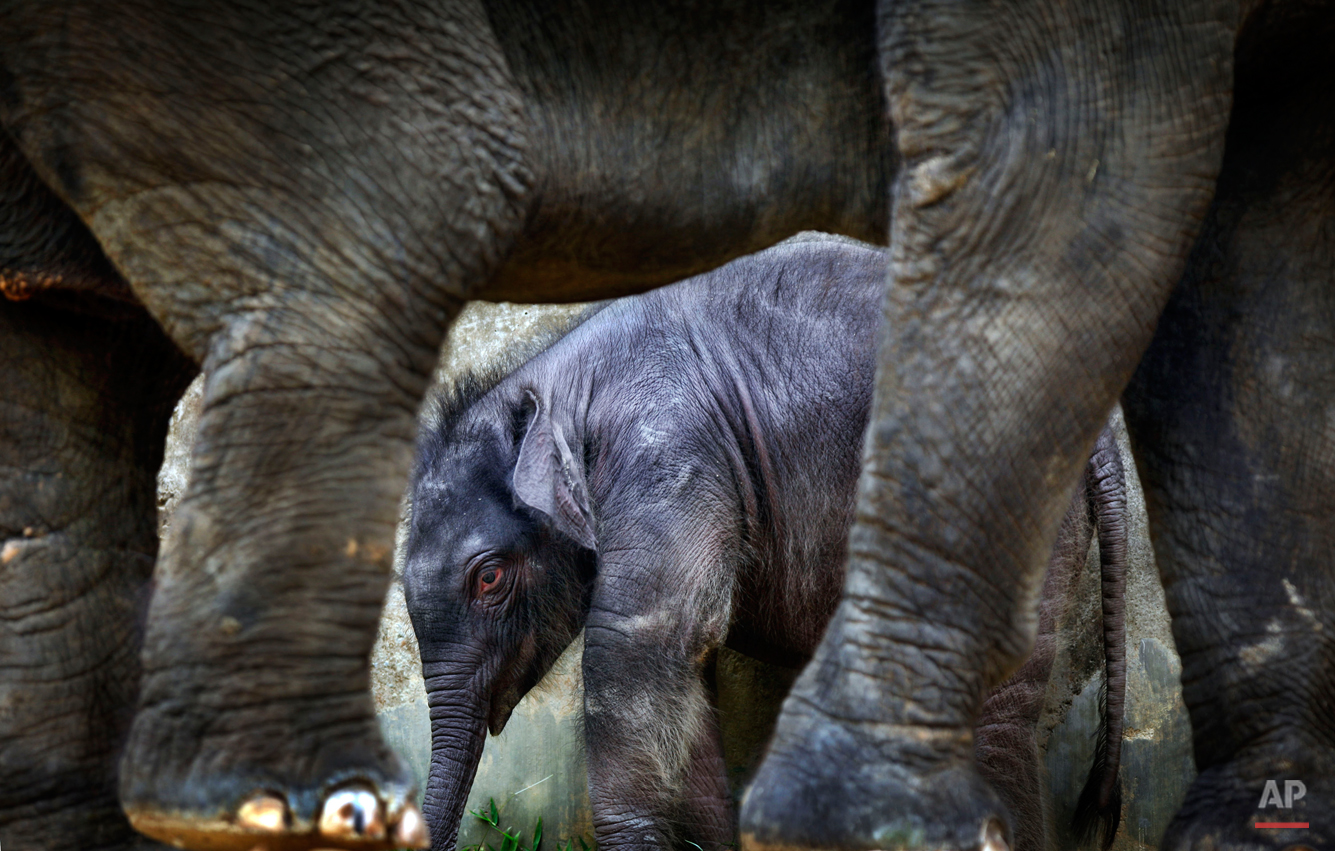 A 2-week old male baby elephant is dwarfed next to his 25-year old mother, Nandong, at the Singapore Zoo's Night Safari on Friday, Dec. 10, 2010 in Singapore. This baby is the first baby to be born in the enclosure after 9 years and had a birth weight of 151-kilograms. The Singapore Zoo and Night Safari ensures that its animals in captivity have habitats as close to that of the wild as part of its wildlife conservation efforts. Elephants are listed as endangered on International Union for Conservation of Nature.(AP Photo/Wong Maye-E)