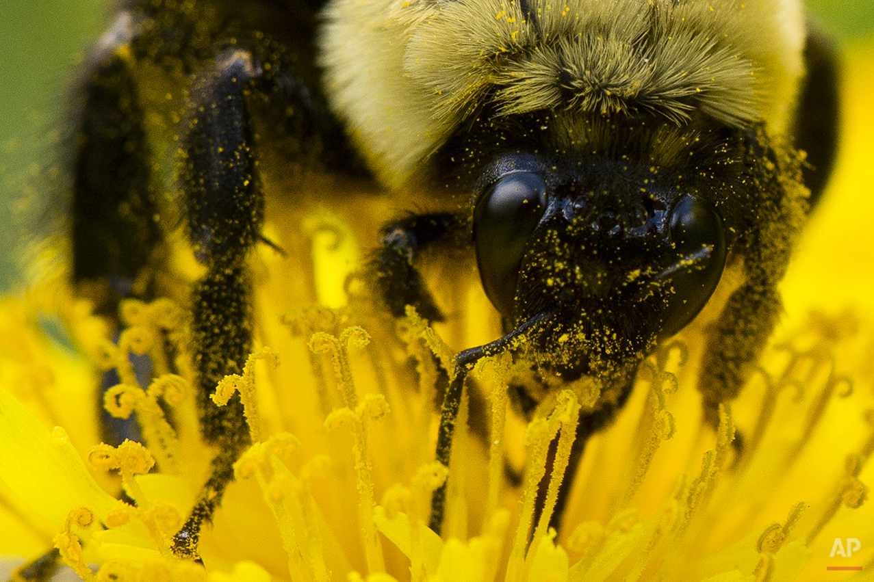 AP10ThingsToSee - Pollen sticks to a bee as it gathers nectar from a dandelion on a spring afternoon in Philadelphia on Friday, May 2, 2014. (AP Photo/Matt Rourke)