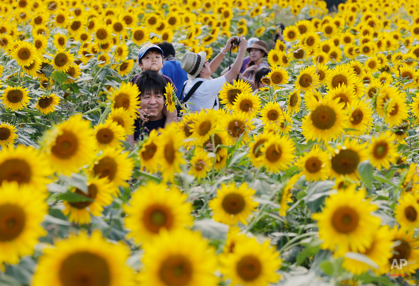 Yuto Ono, 3, sitting on his father's shoulders goes through a field of sunflowers at a park in Zama, west of Tokyo, Friday, Aug. 17, 2012. (AP Photo/Itsuo Inouye)