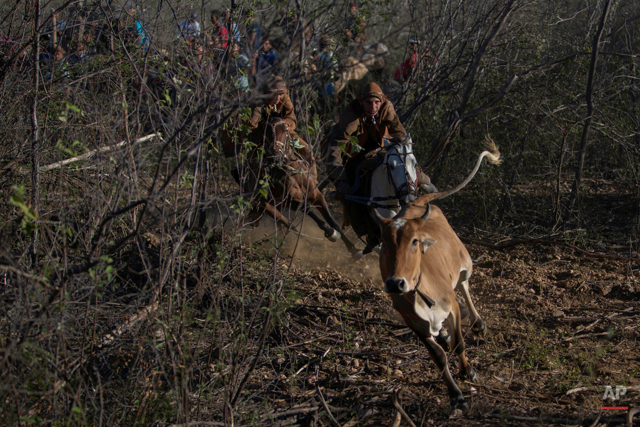 """In this July 24, 2015 photo, a team of two cowboys chase a bull through the scrub at the annual Catch the Bull competition known as the """"Pega do Boi"""" in Serrita, in Brazil's Pernambuco state. After the winners are declared, the bulls are allowed to roam freely until the following day when they are rounded up and returned to their owners. (AP Photo/Eraldo Peres)"""