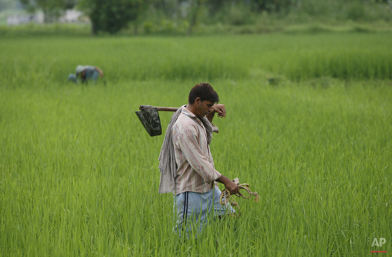 In this Friday Aug. 21, 2015, photo, an Indian farmer Jasveer Singh walks back home from his paddy field near the India Pakistan international border fencing at Ranbir Singh Pura 36 kilometers (23 miles) from Jammu, India. On the face of it these villages in the Jammu region of Indian Kashmir seem idyllic, but over the last two weeks these villages have been witness to an angry exchange of fire and mortar shells between Indian and Pakistani soldiers. This isn't the first time that these villages have borne the brunt of the animosity between India and archrival Pakistan. And this likely won't be the last. (AP Photo/Channi Anand)