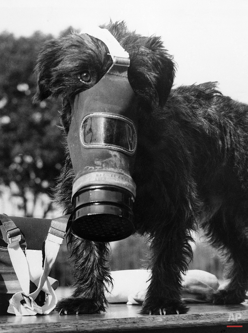 """Judy, a Wembley, England, dog, looks sadder than ever with a gas mask on, as though asking with pained expression, Sept. 17, 1938, """"What's all this about, anyway?"""" Well, Judy, everybody is learning how to don gas masks I quickly in case war comes, and they didn't want to leave you out of it. (AP Photo)"""