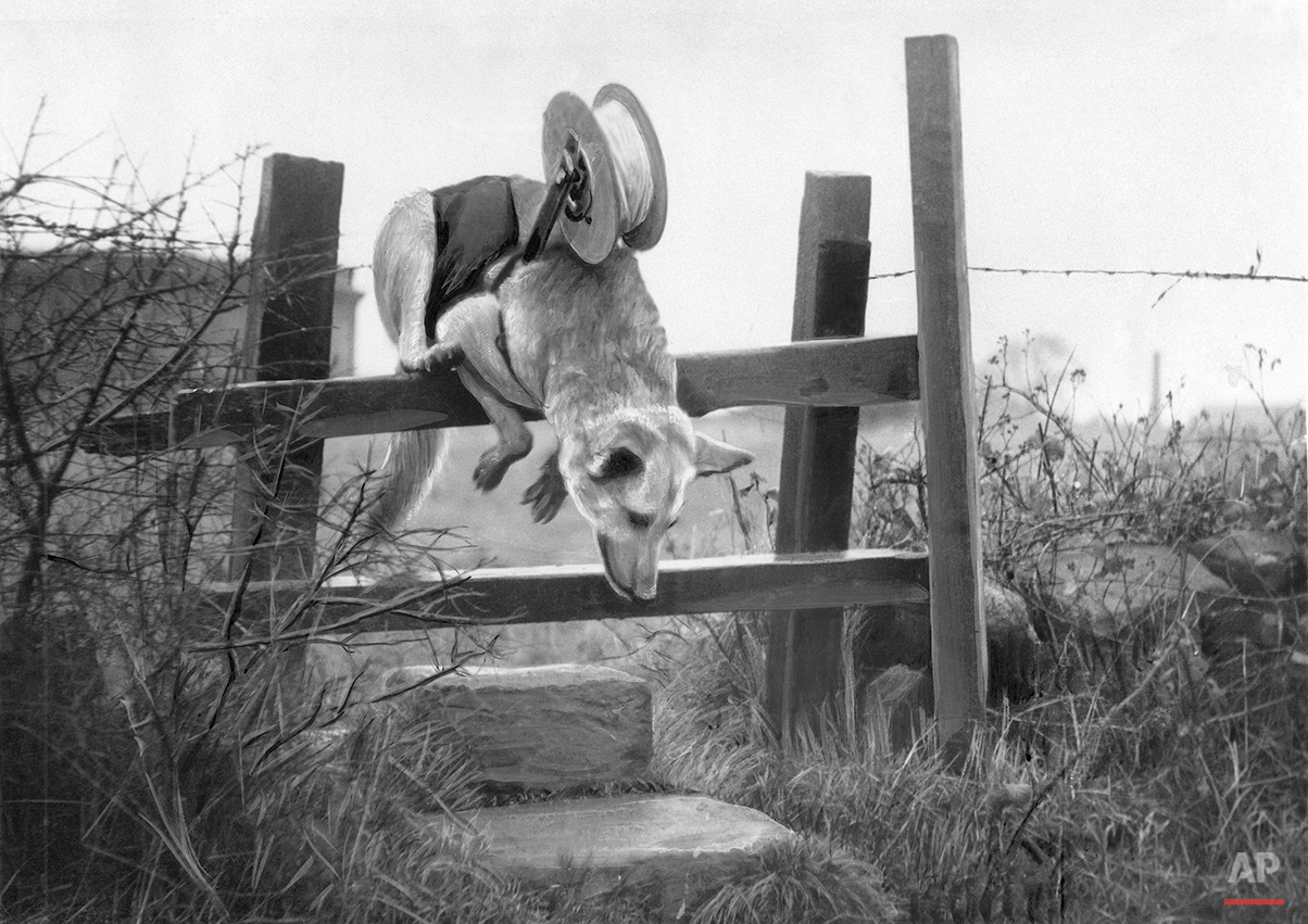 Floss, an Alsatian defense dog, lays a telephone cable in an unknown location on Nov. 12, 1940. Floss will carry a mile of cable, being paid out from a roll on her back, over bomb-pitted, barbed wire entangled ground in two minutes, non-stop. (AP Photo)