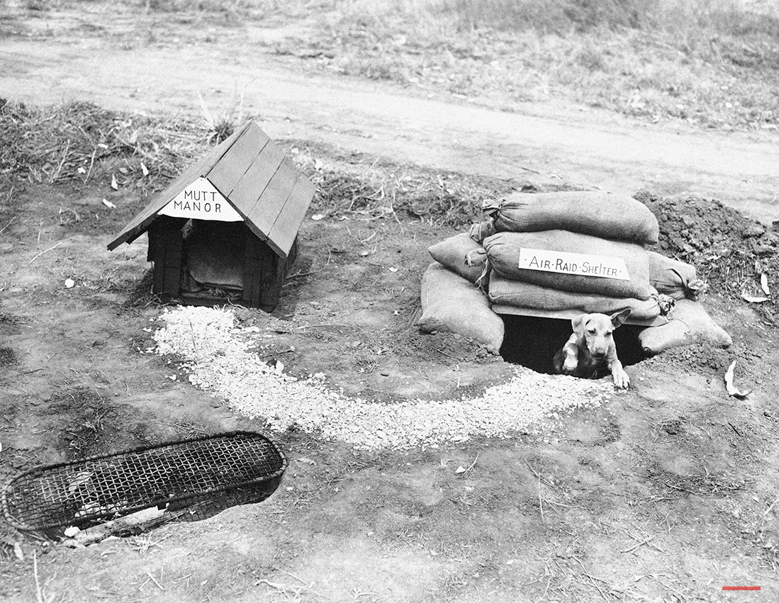 """Tojo, a dog adopted by five American soldiers, has all the conveniences of civilian life provided for him in the jungle in New Guinea on April 16, 1943. He is emerging from his air raid shelter which is placed at a convenient distance from his home. He knows when to go into """"Mutt Manor"""" and when to enter his air raid shelter. (AP Photo)"""