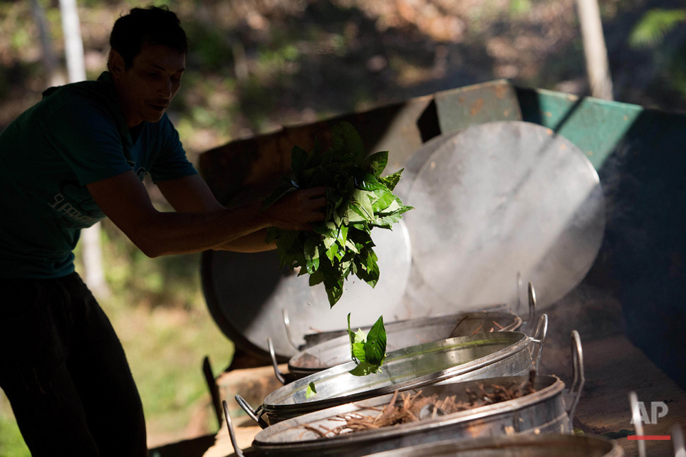 In this June 22, 2016 photo, Raimundo Sidnei throws Chacrona leaves (Psychotria viridis) into tea brewing cauldrons, in Ceu do Mapia, Amazonas state, Brazil. Chacrona is one of the ingredients for making an ancient psychedelic tea locals know as the Holy Daime. (AP Photo/Eraldo Peres)