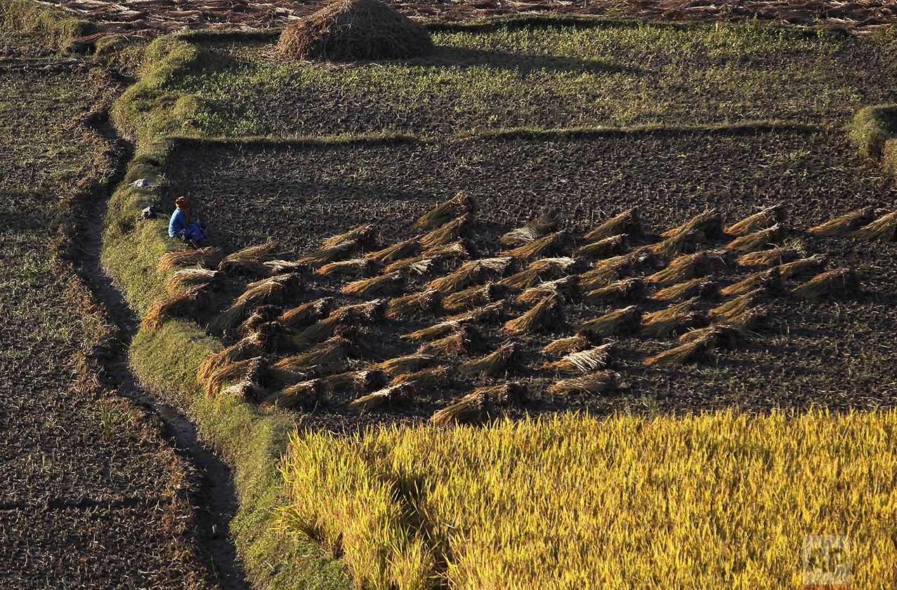 A farmer rests while harvesting a paddy in Chunnikhel, on the outskirts of Kathmandu, Nepal, Thursday, Oct. 20, 2016. Agriculture is the main source of food, income, and employment for the majority of people in Nepal. (AP Photo/Niranjan Shrestha)