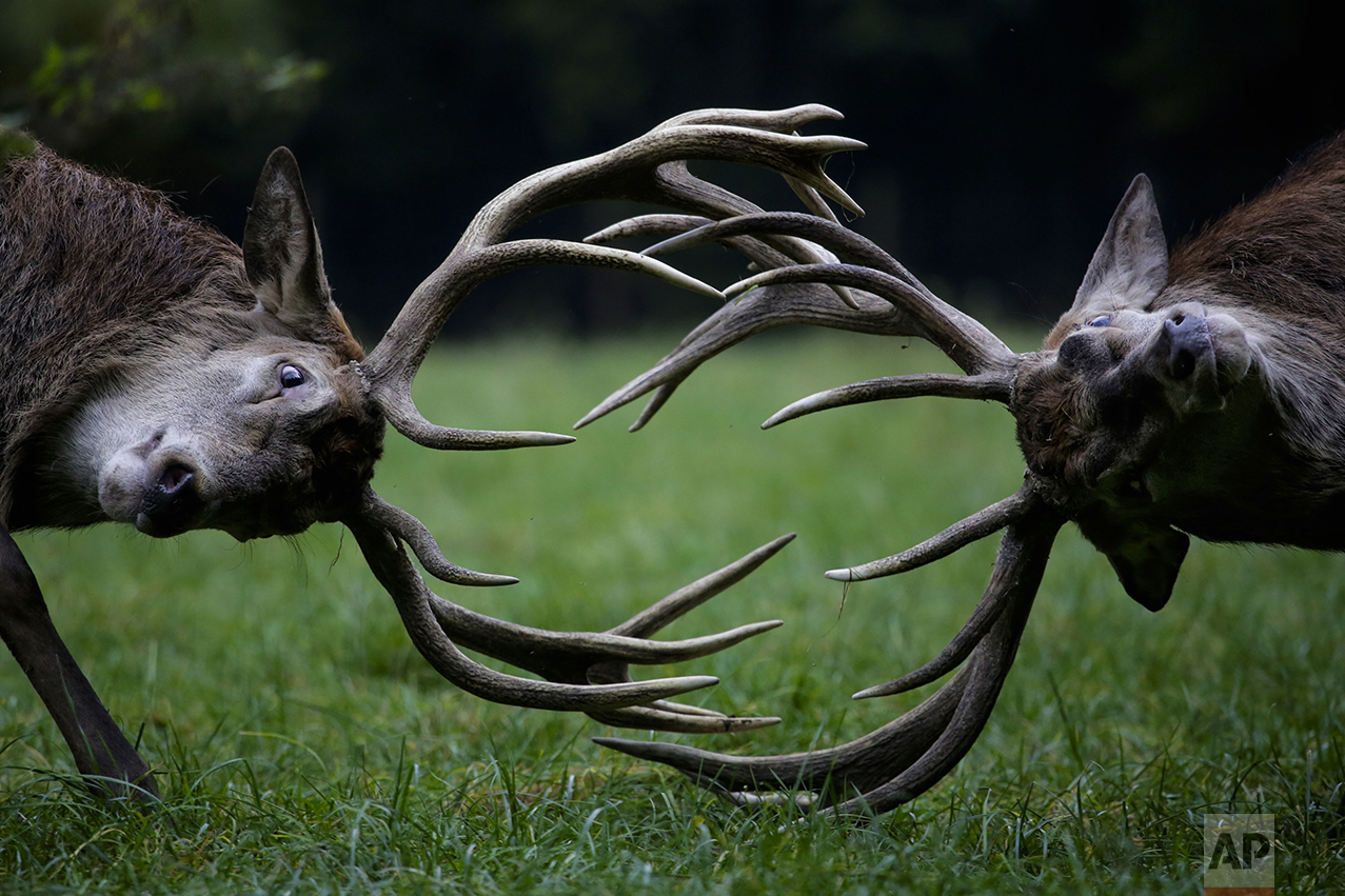 Red deer point their antlers towards each other as they fight during rutting season at a wildlife park on a fall day in Bonn, western Germany, Thursday, Oct. 27, 2016. (AP Photo/Markus Schreiber)