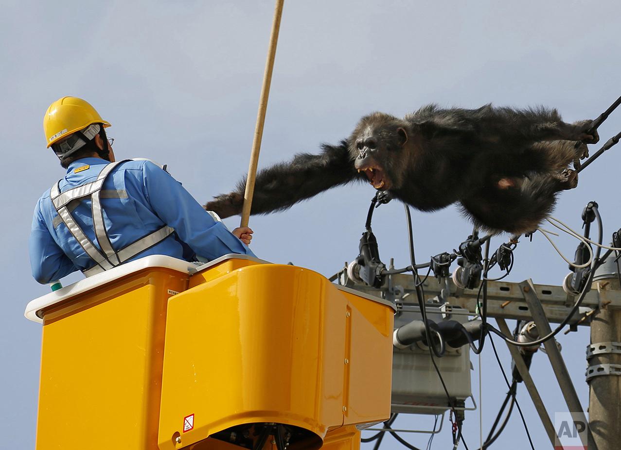 Japan Runaway Chimp
